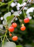 樱桃树的分支用未成熟的莓果 图库摄影