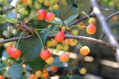 樱桃树的分支用未成熟的莓果 免版税库存图片