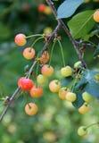 樱桃树的分支用未成熟的莓果 库存照片