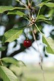 樱桃树的分支的樱桃零件 库存图片
