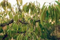 樱桃树的叶子纹理  免版税图库摄影