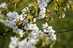 樱桃树的开花的分支 免版税库存照片