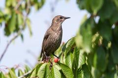 樱桃树的椋鸟科 库存照片