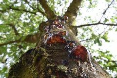 樱桃树的甜琥珀色的泪花 免版税库存图片