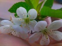 从樱桃树的花 库存图片