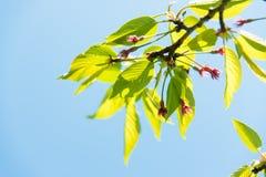 樱桃树的年轻叶子 库存照片
