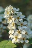 樱桃树美丽的花  免版税库存照片