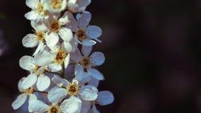 樱桃树美丽的花  免版税库存图片