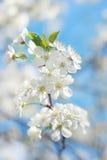 樱桃树花在蓝天背景的  库存照片