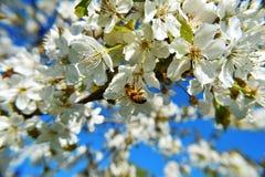 樱桃树花特写镜头与蜂的 免版税库存图片