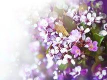 樱桃树花,桃红色春天樱花 免版税图库摄影