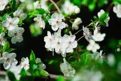 樱桃树许多分支与开花的白花和绿色叶子的 免版税库存照片