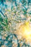 樱桃树进展的分支在日出instagram窗框的 图库摄影