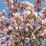 樱桃树 库存图片