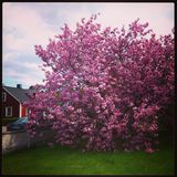 樱桃树 库存照片