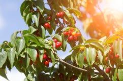 樱桃树 免版税图库摄影