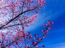 樱桃树 图库摄影