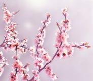 樱桃桃红色开花关闭  开花的樱桃树 背景开花的樱桃接近的花卉日本春天结构树 库存照片