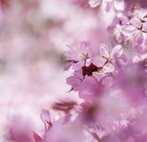 樱桃梦想 库存图片