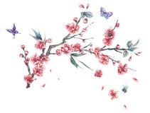 樱桃水彩春天桃红色开花的分支  皇族释放例证