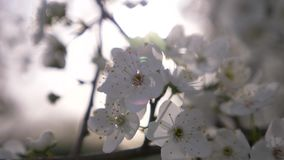 樱桃洋李的特写镜头 花和太阳强光 r 股票录像