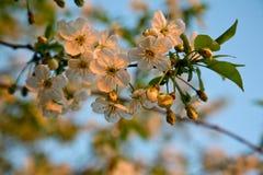樱桃瓣在黎明 图库摄影