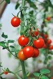樱桃生长蕃茄 免版税库存图片