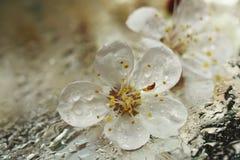 樱桃的花,在一湿的杏树特写镜头在小滴湿气 图库摄影
