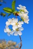 樱桃的花 免版税库存图片