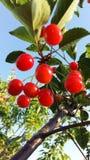 樱桃红结构树 库存图片