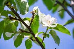樱桃绽放在春天 免版税库存照片