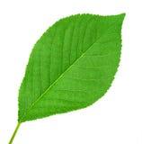 樱桃绿色叶子一结构树 图库摄影