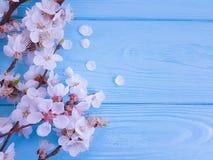 樱桃美丽的开花可以庆祝在蓝色木背景的分支春天 免版税库存照片
