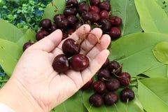 樱桃背景,被关闭在手中举行三棵的樱桃 免版税库存照片