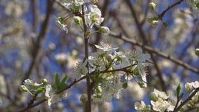 樱桃芬芳果树的绽放和的气味