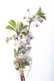 樱桃花和枝杈在木背景 免版税库存照片