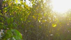 樱桃花在春天庭院,春天从事园艺在阳光下 股票录像