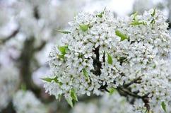 樱桃花堆在西雅图郊区 图库摄影
