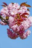 樱桃花特写镜头在开花的 库存图片