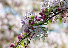 樱桃花特写镜头在开花的 免版税库存图片