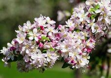 樱桃花特写镜头在开花的 免版税库存照片
