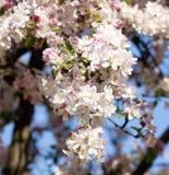 樱桃花特写镜头在开花的 库存照片