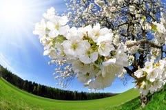 樱桃花结构树 免版税库存照片
