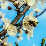 樱桃花 库存图片
