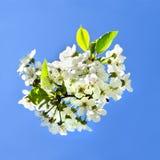 樱桃苹果开花和蓝天春天花 免版税图库摄影