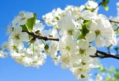 樱桃苹果开花和蓝天春天花 库存图片
