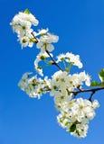 樱桃苹果开花和蓝天春天花 库存照片