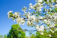 樱桃苹果开花和蓝天春天花 免版税库存照片