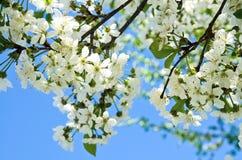 樱桃苹果开花和蓝天春天花 图库摄影