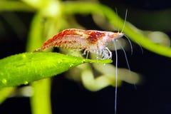 樱桃虾 免版税库存图片